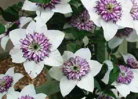 Clematis2X.png